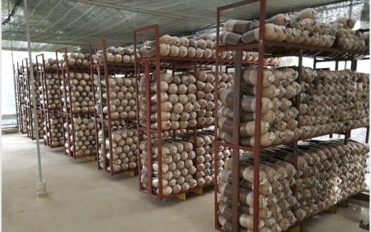 Kỹ thuật trồng nấm bào ngư liên hệ ngay Himana 0988 308 588